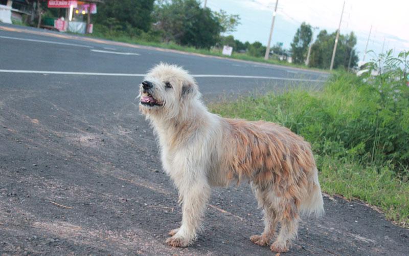 泪目!泰国一小狗与主人走散 坐路边苦等四年(视频)