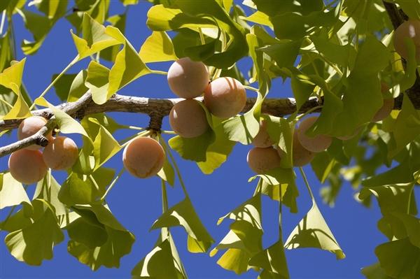 研究发现:银杏叶可能有助于治疗2型糖尿病